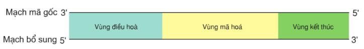 Hình 1.1. Cấu trúc chung của một gen cấu trúc