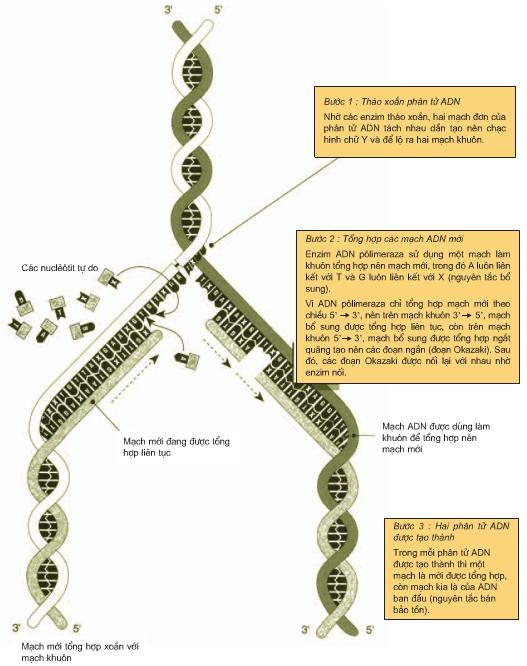 Hình 1.2. Sơ đồ minh họa quá trình nhân đôi ADN