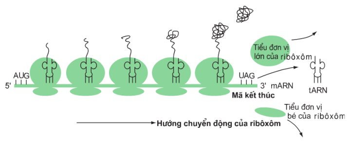 Hình 2.4. Sơ đồ hoạt động của pôliribôxôm trong quá trình dịch mã