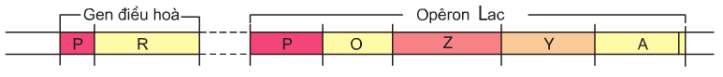 Hình 3.1. Sơ đồ mô hình cấu trúc của Opêron Lac ở vi khuẩn đường ruột (E.coli)