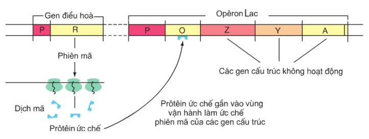 Hình 3.2a. Sơ đồ hoạt động của các gen trong opêron Lac khi môi trường không có lactôzơ