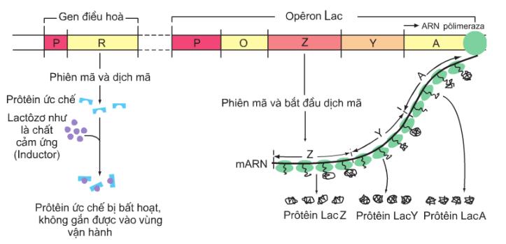 Hình 3.2b. Sơ đồ hoạt động của các gen trong opêron Lac khi môi trường có lactôzơ