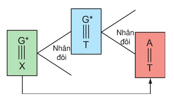 Hình 4.1. Đột biến G-X A-T do kết cặp không hợp đôi trong nhân đôi ADN