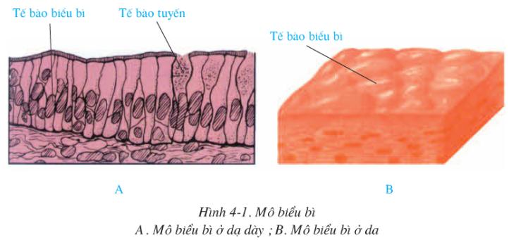 Hình 4.1 (Sinh 8)